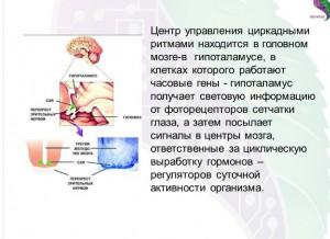 циркадные биоритмы