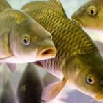 Паразиты рыб, опасные для человека